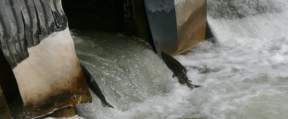 看三文鱼洄游,特色船闸,动物公园